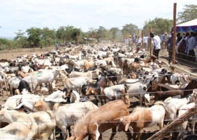 Goats auctioned at Baingoror Grounds,Sigowet Constituency